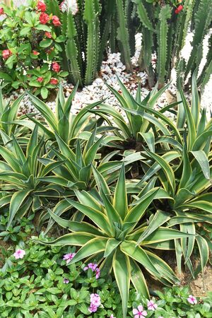 agave plant leaves in garden