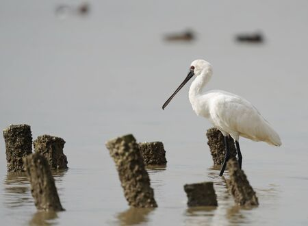 Black-faced Spoonbill at waterland in shenzhen, china. Stock Photo