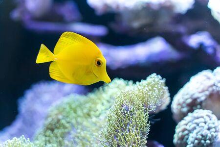 zebrasoma salt water aquarium fish 스톡 콘텐츠