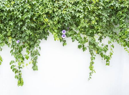 Bouchent la fleur de gloire du matin bleu avec des feuilles vertes isolées sur fond blanc avec espace de copie. Plante grimpante.