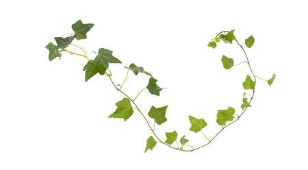 Branch of green ivy on a white background Reklamní fotografie