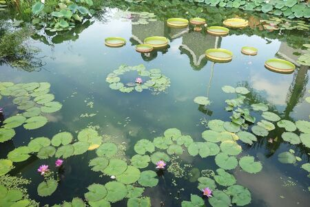 Huge floating lotus(Giant Amazon water lily,Victoria amazonia) leaves in pond.