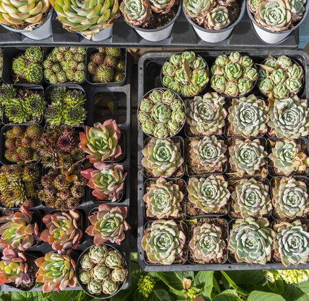 Miniature succulent plants (succulent cactus) at the garden Stock Photo