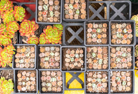 Lithops (Living stone), Cactus on flower pot 版權商用圖片