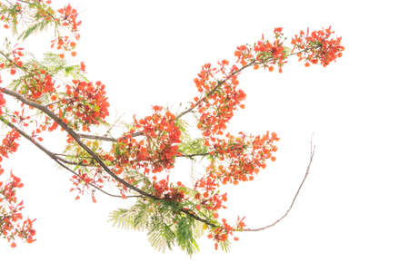 Peacock flowers on tree with white background