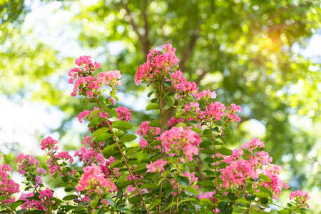 crepe myrtle flowers in garden