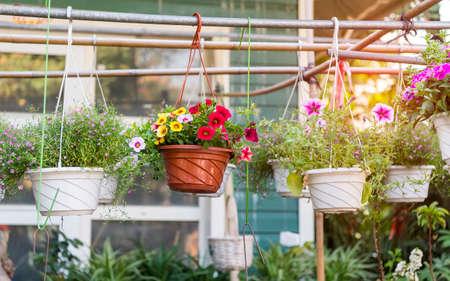 colorful petunia flowers hanging in garden