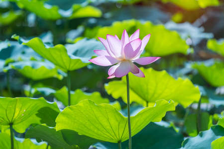 Beauty pink lotus or water lily is in closeup in garden pond