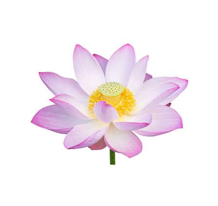 lotus on isolated white background. Reklamní fotografie