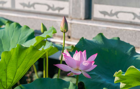 lotus flower plants with green leaves in pond