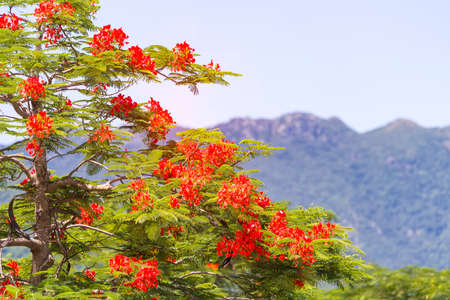Peacock flowers on tree with sky background Banco de Imagens