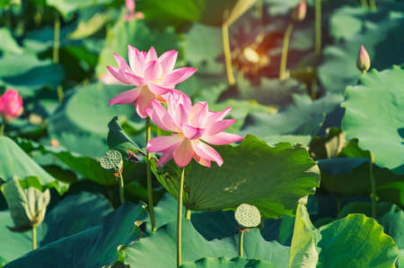 lotus flower blooming in summer pond with green leaves as background