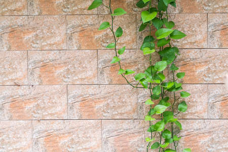 Branch of scindapsus devil s ivy on a brick wall background