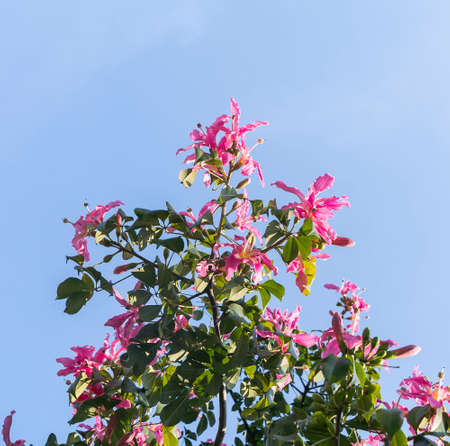 pink silk floss tree flower isolated on blue sky background