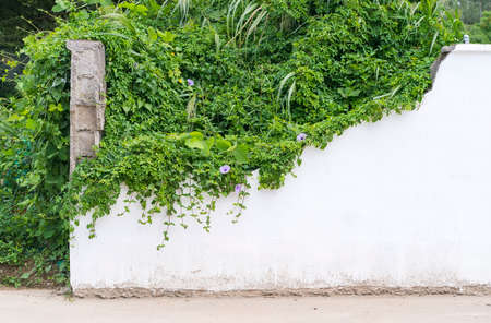 green wall with morning glory for background 스톡 콘텐츠