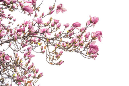 Pink magnolia flowers isolated on white background Foto de archivo
