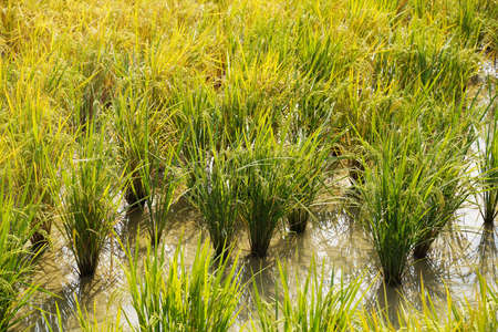rice paddy green color lush growing is a agriculture