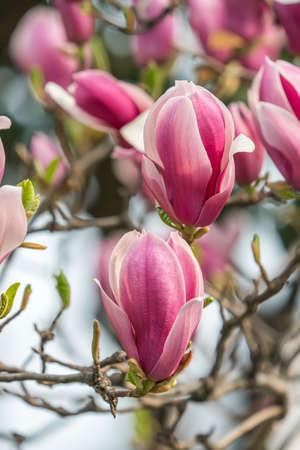 Beautiful magnolia flowers in Spring garden 免版税图像
