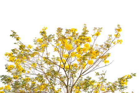 Tabebuia chrysotricha yellow flowers blossom in spring 免版税图像