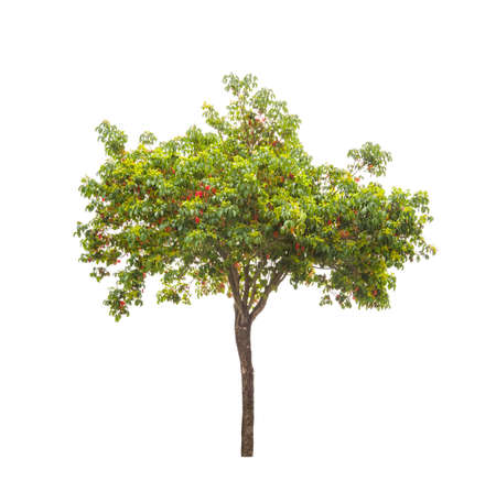 small camphor tree isolated on white background