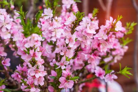 peach flower blossom in garden 免版税图像