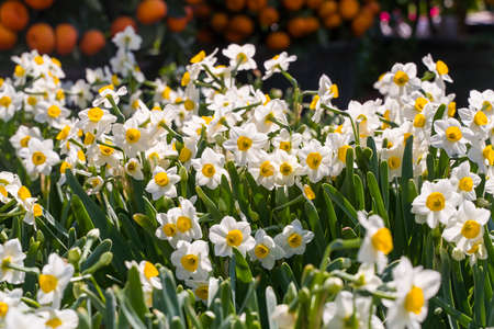 narcissus blooming for chinese new year 免版税图像