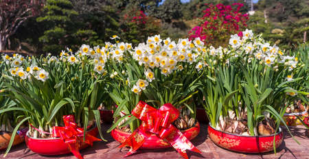 narcissus blooming for chinese new year,Chinese character means:good bless for new year 免版税图像