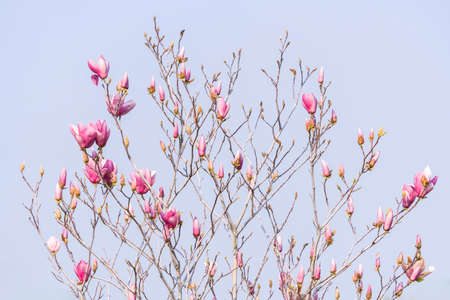 Beautiful magnolia flowers in Spring garden with blue sky background 免版税图像