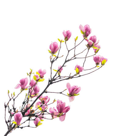 magnolia branch isolated on white background 免版税图像