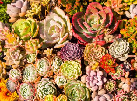 Miniature succulent plants (succulent cactus) at the garden 免版税图像