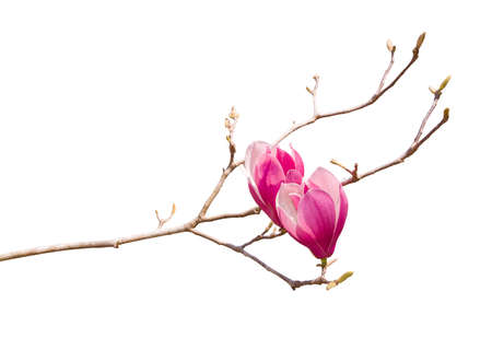 pink flower of magnolia spring branch isolated on white background