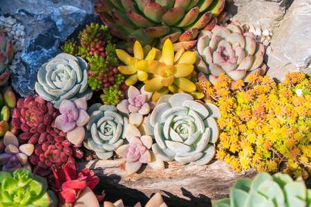 Miniature succulent plants in garden 免版税图像