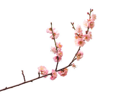 pink plum blooming flowers isolated on white background 免版税图像
