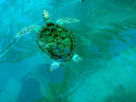 sea turtle is swimming in blue pool