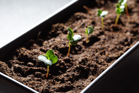 Beetroot germination Stock Photo