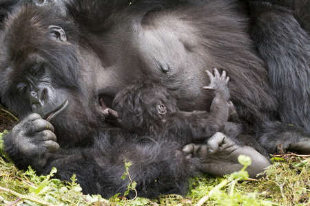 gorilla mum with baby in the rainforest of Biwindi Impenetable National Park, Uganda.