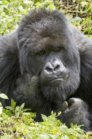 gorilla in the rainforest of Biwindi Impenetable National Park, Uganda. . Archivio Fotografico - 118444406