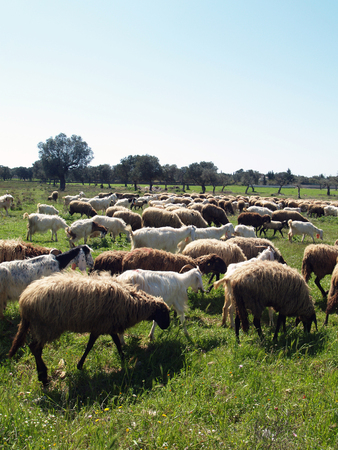 Flock of sheep in the italian campaigns Archivio Fotografico - 118444366
