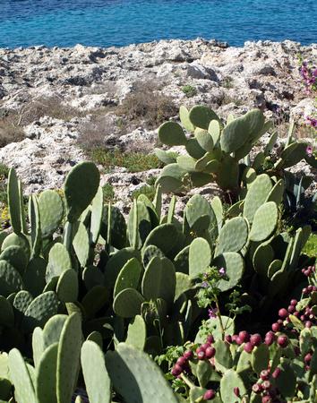 Beavertail cactus on the sea shore. Archivio Fotografico - 118444372