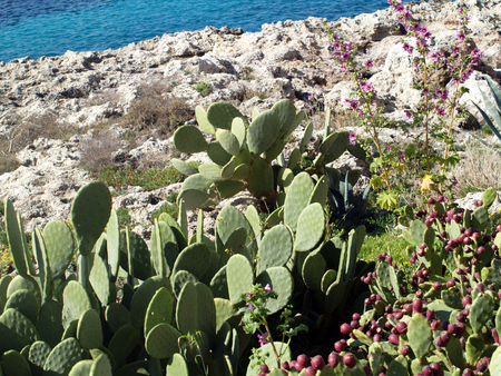 Beavertail cactus on the sea shore. Archivio Fotografico - 118444373