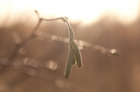 catkins: photo of catkins in sunlight Stock Photo