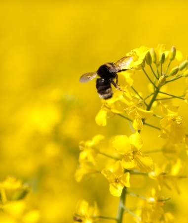 bumble bee: Bumble bee on a flower of canola