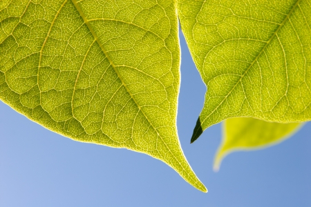 Close up of  green leaves in sunlight against the sky photo