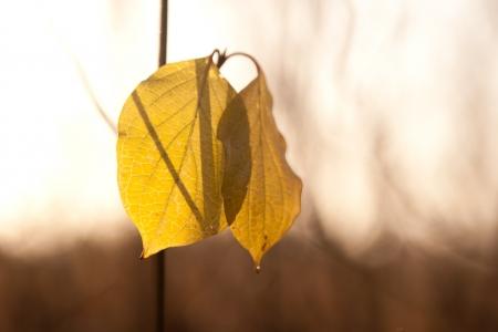 haiku: two autumn leaf in sunlight