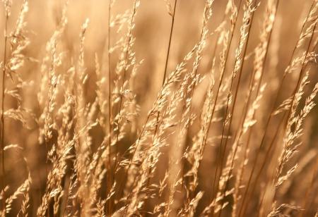 haiku:  Dry prairie grass in the sunlight