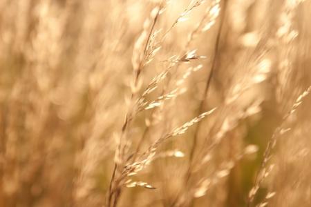 haiku: Dry weed grass in sunlight Stock Photo