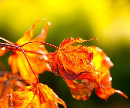 wilting: Autumn maple leaves in sunlight