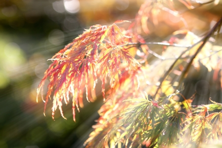 withering: Autumn maple leaves in sunshine