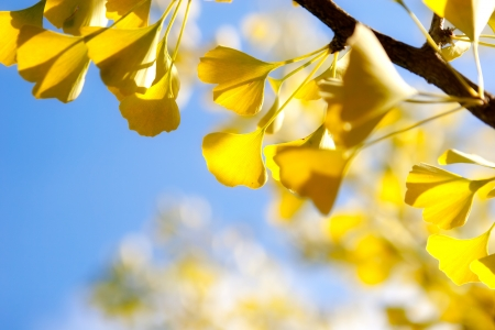 Autumn leaves of ginkgo against sky