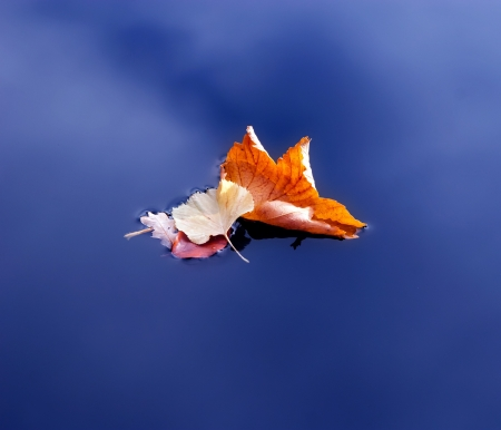 withering: Autumn maple leaves on the water